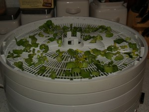 celery on dehydrator tray